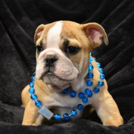 Missile: English Bulldog Puppies for Sale